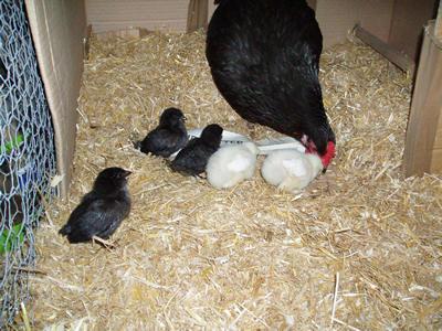 raising day old chicks pdf