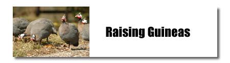 Raising Guineas